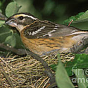 Black-headed Grosbeak Female Art Print