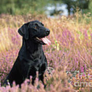 Black Labrador Dog Art Print
