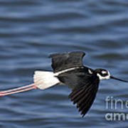 Black-necked Stilt Art Print