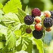 Black Raspberries 2 Art Print