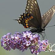 Black Swallowtail Butterfly Feeding Art Print