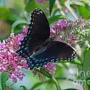 Black Swallowtail Butterfly Art Print