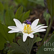 Bloodroot Wildflower - Sanguinaria Canadensis Art Print