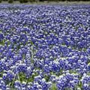Blue Bonnet Carpet V7 Art Print