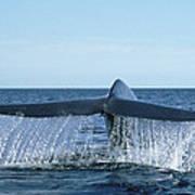 Blue Whale Tail Sea Of Cortez Art Print