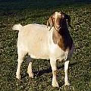 Boer Goat  Art Print