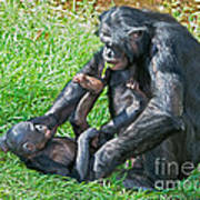 Bonobo Adult And Baby Art Print
