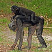 Bonobos Art Print