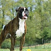 Boxer Dog Art Print by Johan De Meester