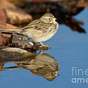 Brewers Sparrow At Waterhole Art Print