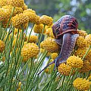 Brown Garden Snail Art Print by Walter Klockers
