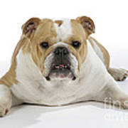 Bulldog, Female Art Print