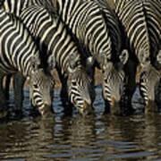 Burchells Zebra Equus Burchellii Herd Art Print