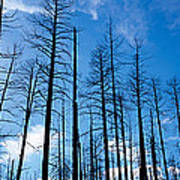 Burnt Pine Trees In A Forest, Grand Art Print