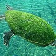Busch Turtle  Art Print