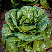 Butterhead Lettuce Art Print