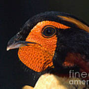 Cabots Tragopan Pheasant Art Print
