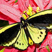 Cairns Birdwing Butterfly Art Print