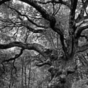 California Black Oak Tree Art Print