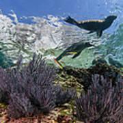 California Sea Lion Undersea Art Print