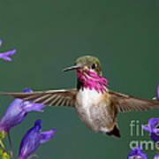 Calliope Hummingbird Stellula Calliope Art Print