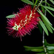 Callistemon Citrinus - Crimson Bottlebrush Hawaii Art Print