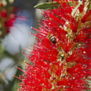 Callistemon Citrinus - Crimson Bottlebrush Art Print