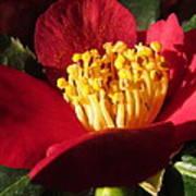 Camellia Flower Art Print by Joyce Woodhouse