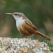 Canyon Wren Art Print