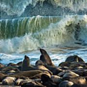 Cape Fur Seals Arctocephalus Pusillus Art Print