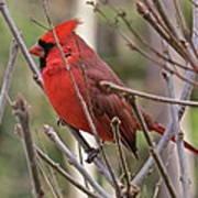 Cardinal 122 Art Print