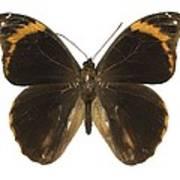 Catoblepia Xanthus Butterfly Art Print