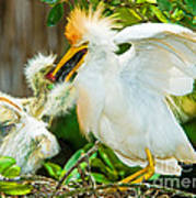 Cattle Egret With Young In Nest Art Print