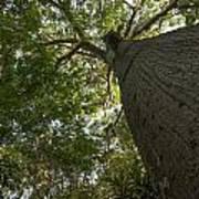 Ceiba Tree Art Print