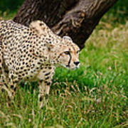 Cheetah Acinonyx Jubatus Big Cat  Art Print