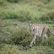 Cheetah  Acinonyx Jubatus Art Print