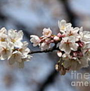 Cherry Blossom 3 Art Print