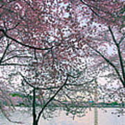 Cherry Blossom Trees Art Print