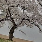 Cherry Blossoms - Washington Dc - 011343 Art Print