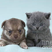 Chihuahua Puppy And British Shorthair Art Print