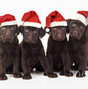 Chocolate Labrador Puppies Art Print