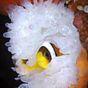 Clarks Anemonefish In White Anemone Art Print by Steve Jones