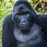 Close-up Of A Mountain Gorilla Gorilla Art Print