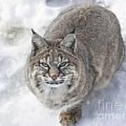 Close-up Of Bobcat Lynx Looking At Camera Art Print by Sylvie Bouchard