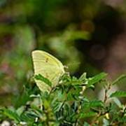Clouded Sulphur Butterfly Art Print