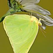 Cloudless Sulphur Butterfly Art Print
