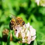 Clover Bee Art Print
