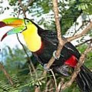 Colorful Toucan Art Print