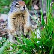 Columbian Ground Squirrel Art Print