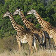 Common Giraffe Art Print